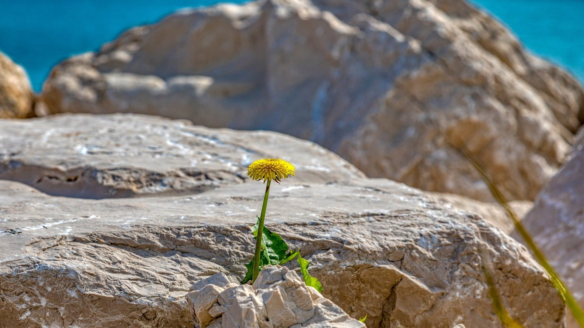 One yellow dandelion amidst rocks in an arid climate.